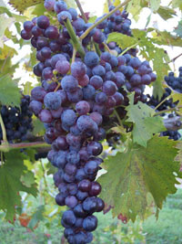 purple-grapes.jpg