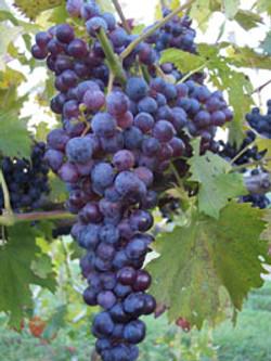 purple-grapes