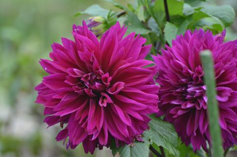 dahila-purple-lanthierwinery-summergarde