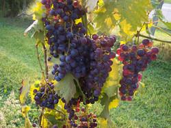 good vertical purple grapes05th