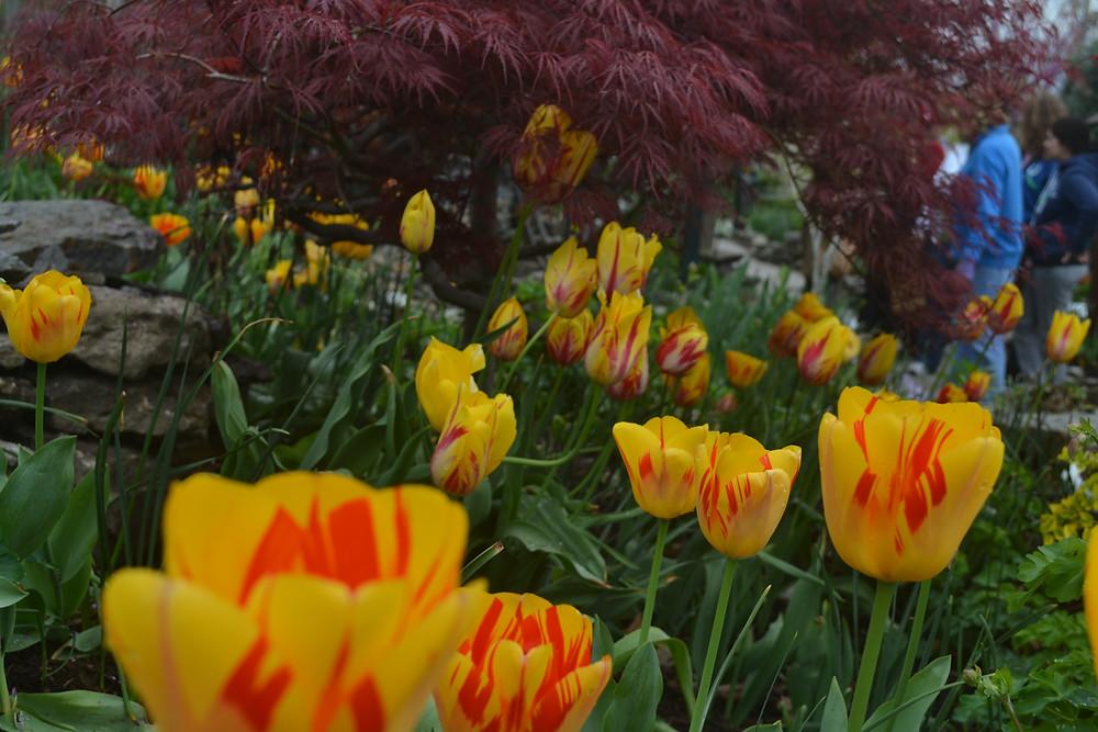 Tulips at Lanthier Winery