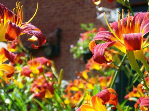 orange red day lilyth lib.JPG