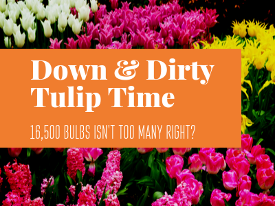 Down & Dirty Tulip Time