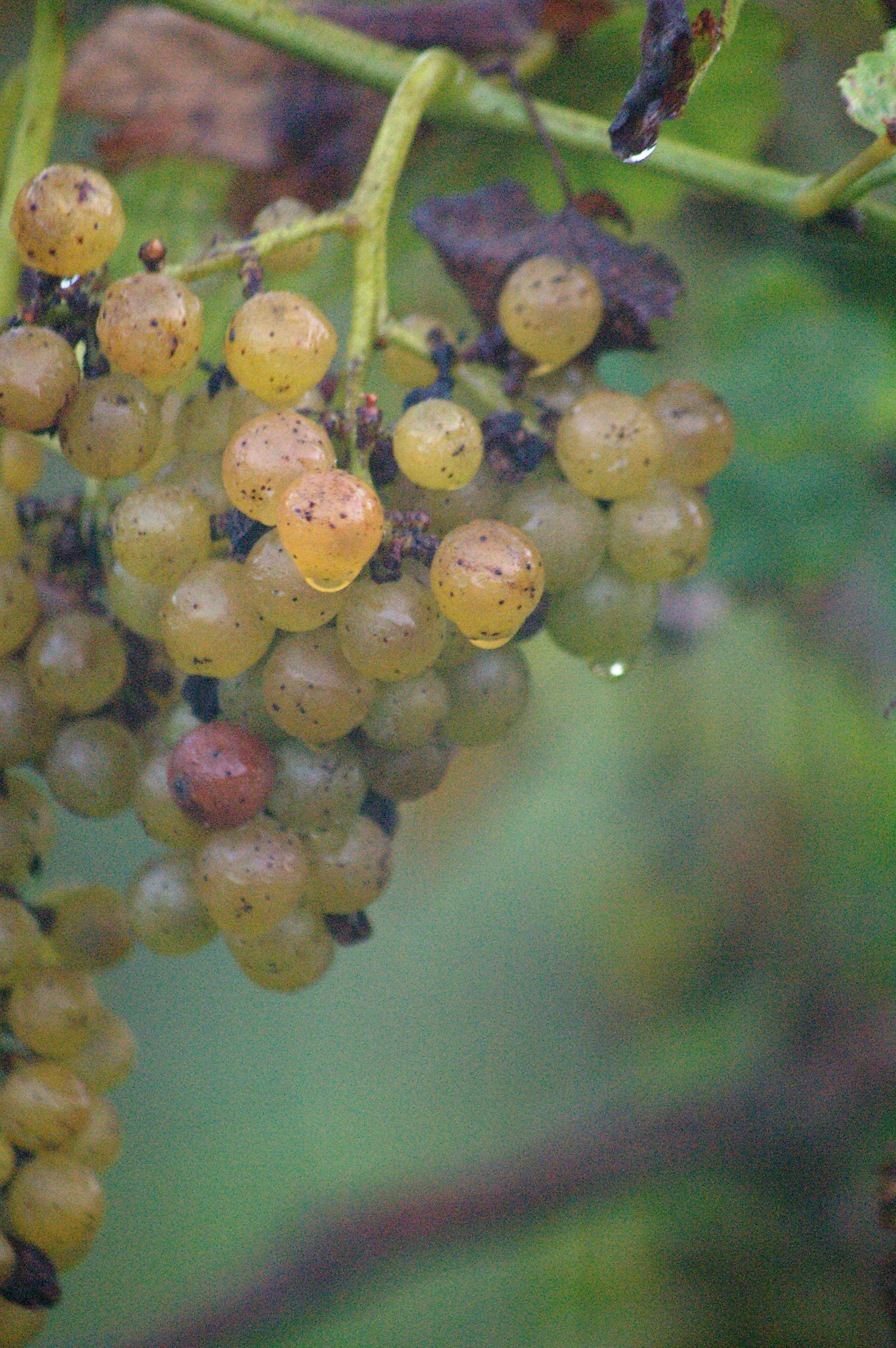 dew on grapes