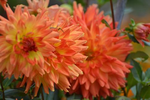 dahila-orange-lanthierwinery-summergarde