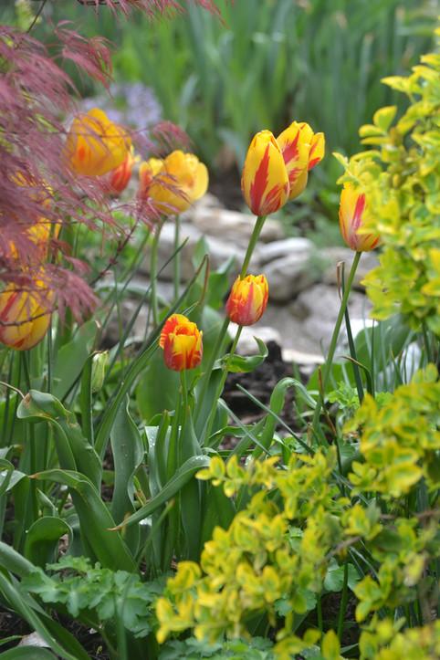 TulipsatLanthier WInery
