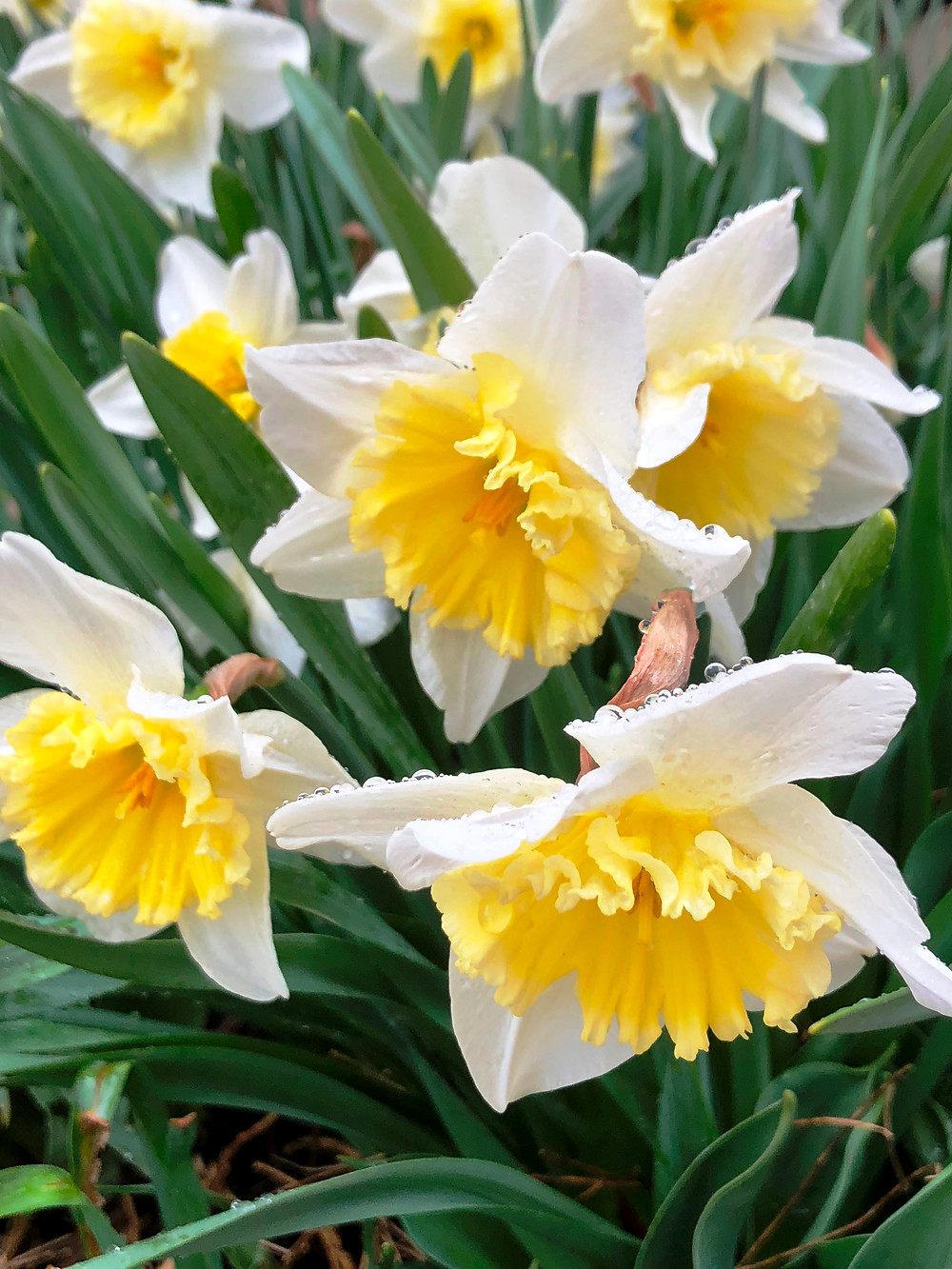 Daffodils at Lanthier Winery
