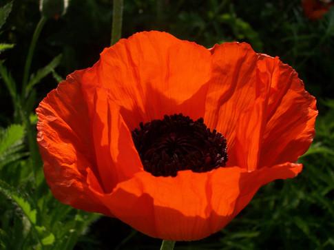 big centered orange poppyth lib.JPG