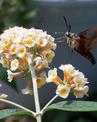 unknown flower hummingbird moth.JPG