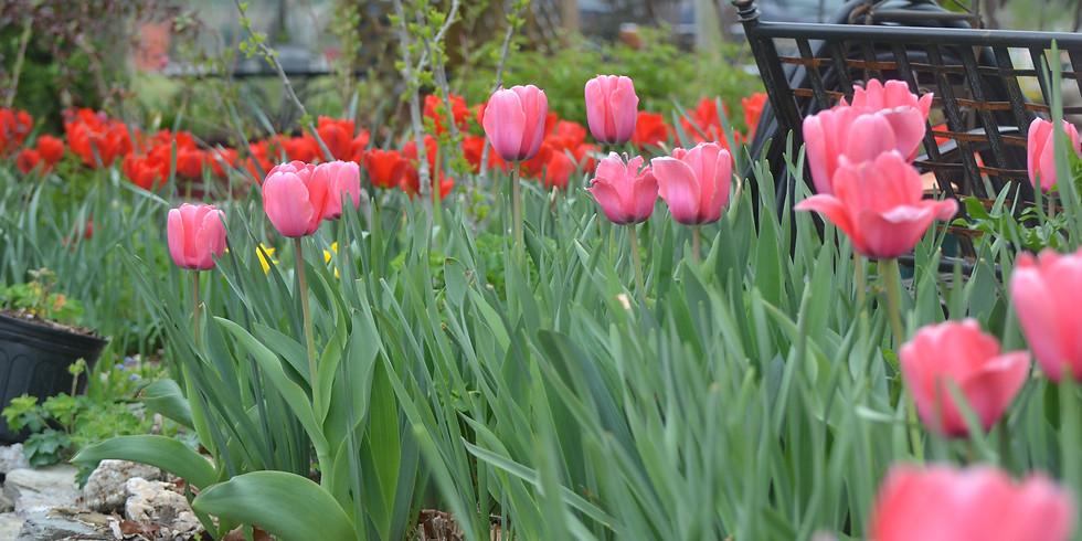 Tulip Days at Lanthier