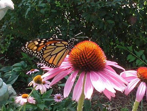 c-u monarch on coneflower.JPG