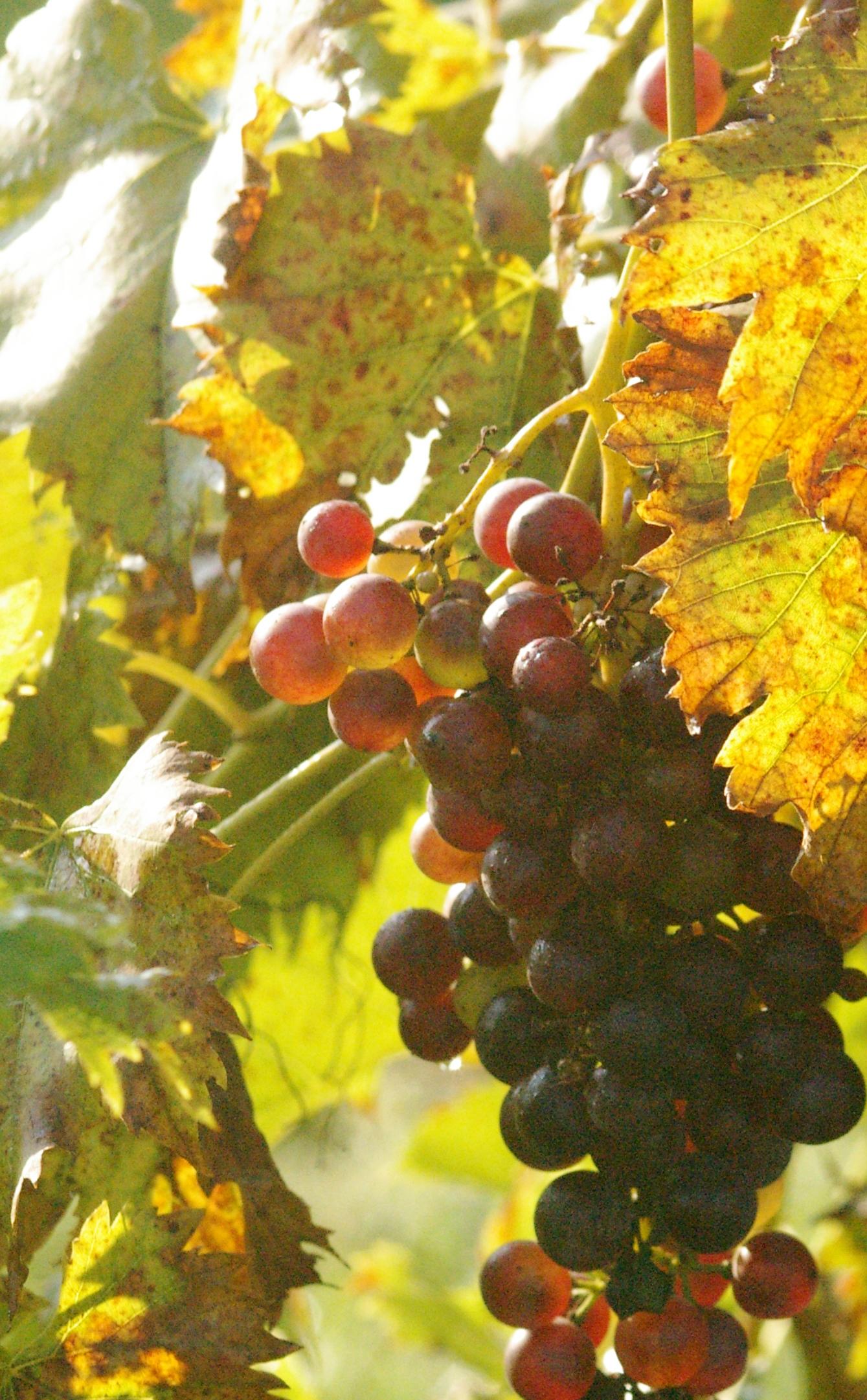 sunrise on grapes