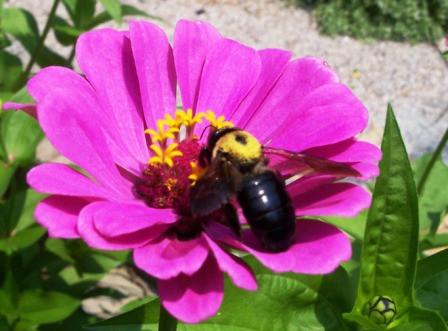 sh zinna and bee.JPG