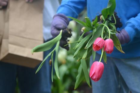 Tulipsat Lanthier Winery