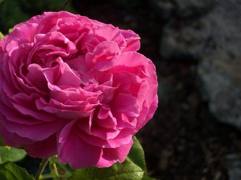 th pink cu left rose.JPG