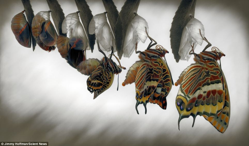 Two-tailed Pasha butterfly emerges from Chrysalis