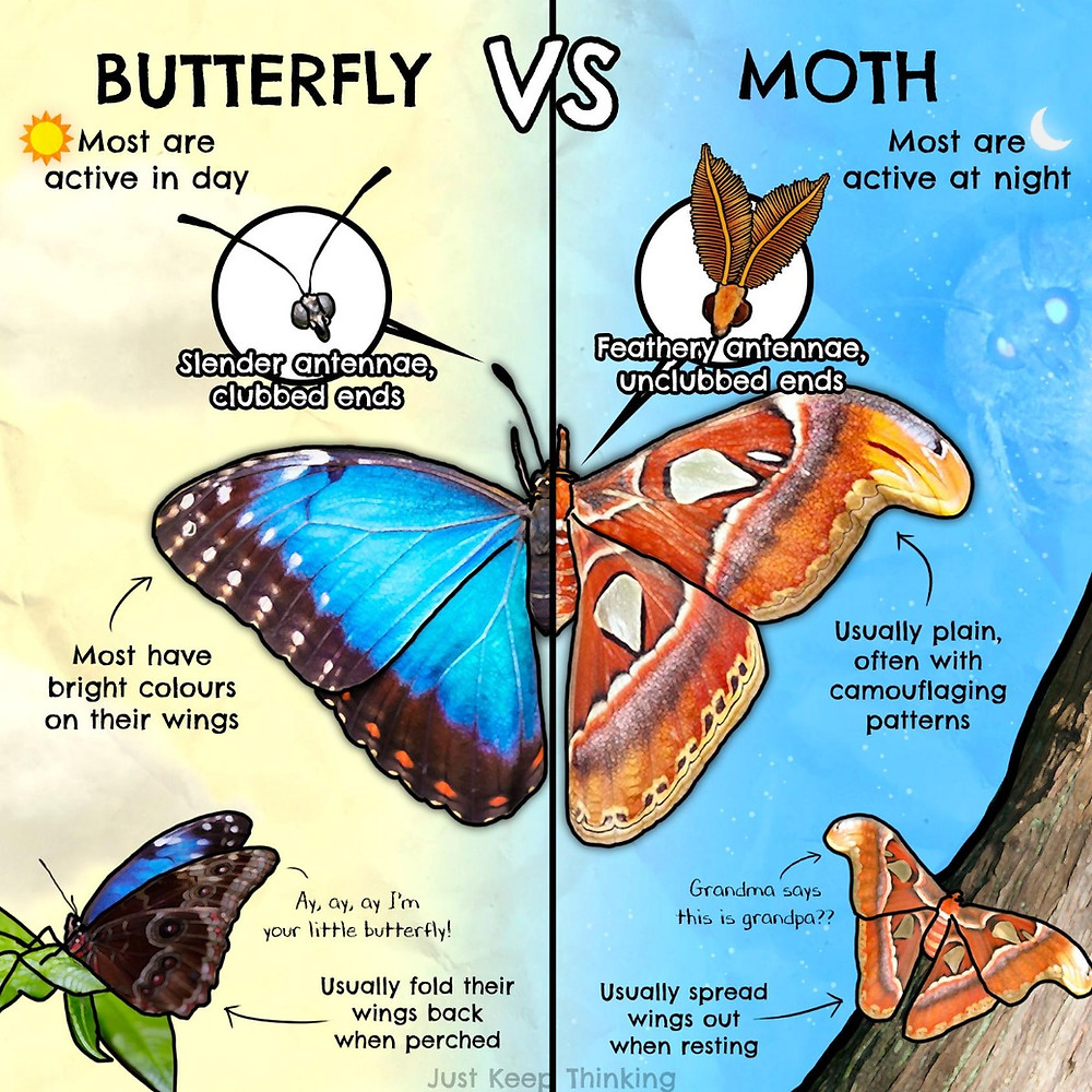 Differences between butterflies and moths.