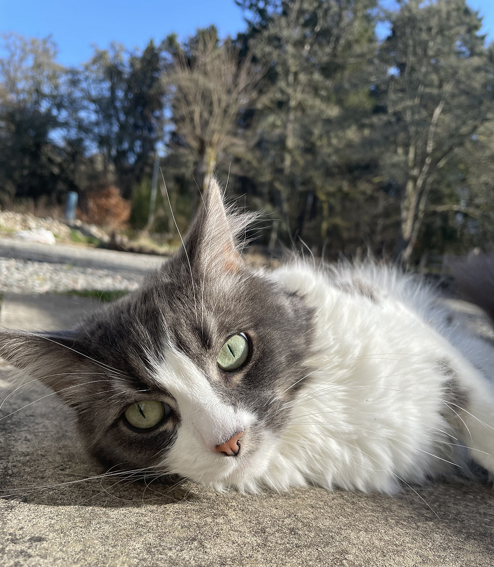 A grey and white fluffy cat lounges in the sun her big eyes staring at the camera.
