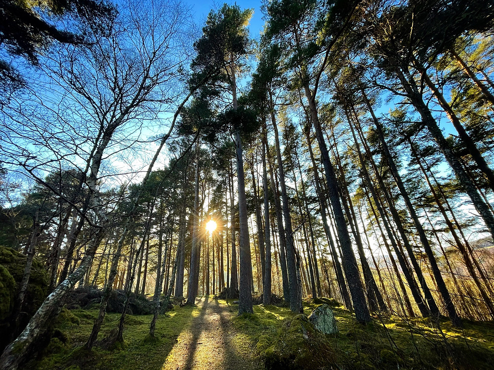 Low spring sun shines through a copse of tall, skinny Scots Pine Trees.