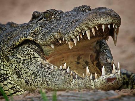 The Nile Crocodile
