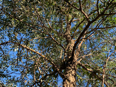 Knobthorns - Surprisingly Interesting Trees
