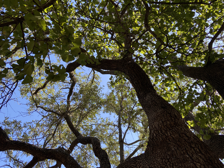 The Leadwood Tree