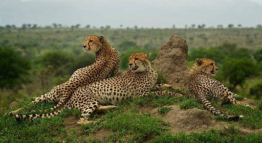 Cheetahs at Nyumbani