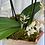 Thumbnail: POTTED ORCHID