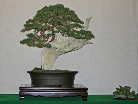California Bonsai Society Show