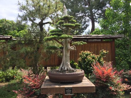 Koen-Nai No Bonsai Central California Collection Show