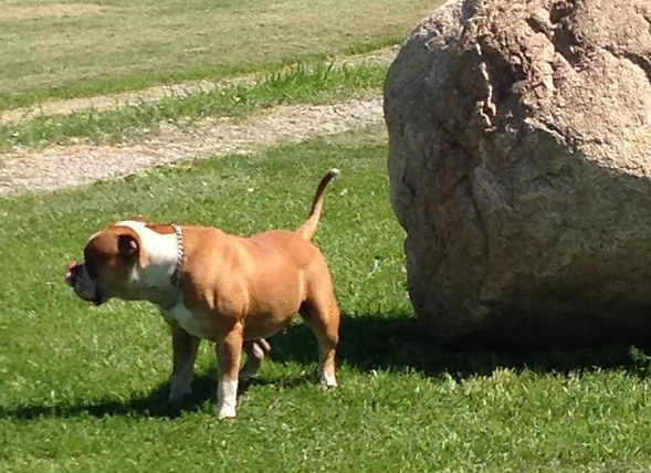 Stone Darkhorse American Bulldog