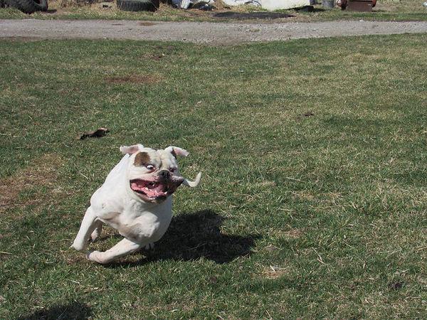 Rocky American Bulldog