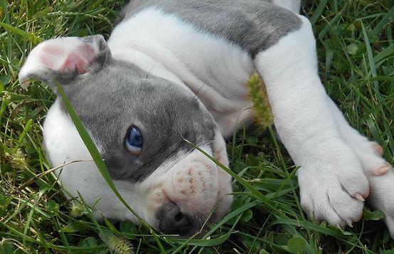 Blue Sky American Bulldog