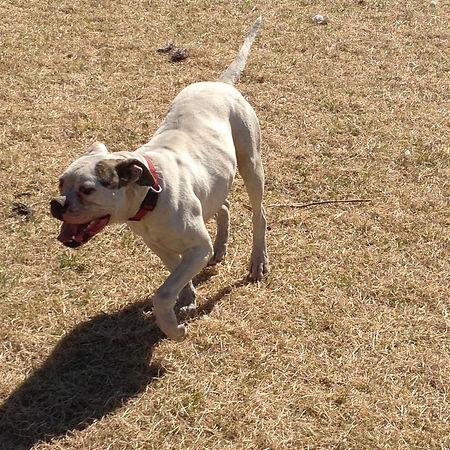 Oreo American Bulldog