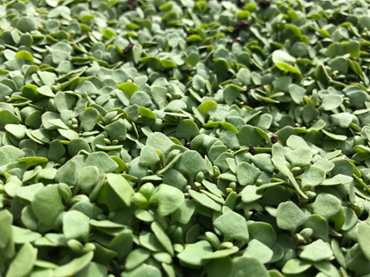 Sprouting Microgreens - Easy