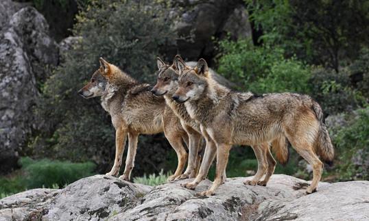 italy wolves.jpg