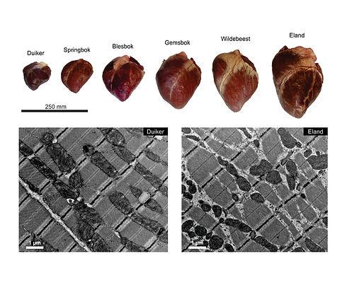 TEM antelope hearts 4.jpg