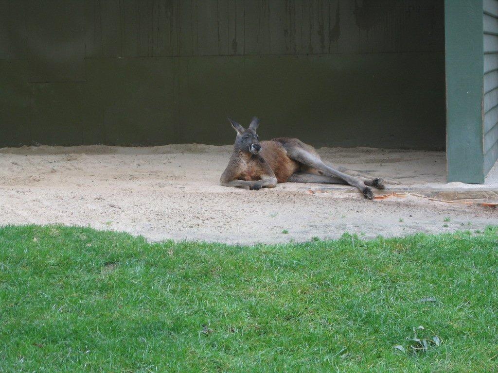 Michel_P_zen_0_kangaroo
