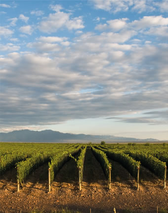 Vistaflores Vineyard - Uco Valley