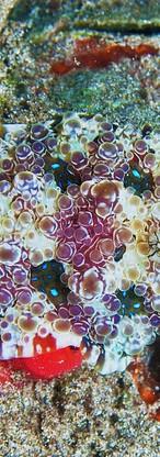 Dennison's Nudibranch.jpg