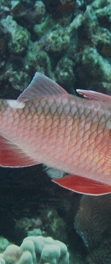 Whitesaddle Goatfish.JPG
