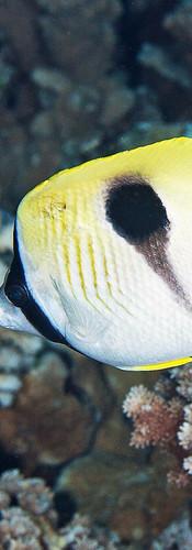 Teardrop Butterflyfish.jpg