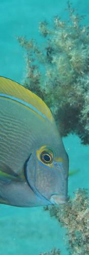 Whitespine Surgeonfish.jpg