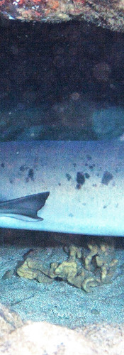 Whitetip Reef Shark 2.jpg