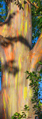 Painted Eucalyptus.jpg