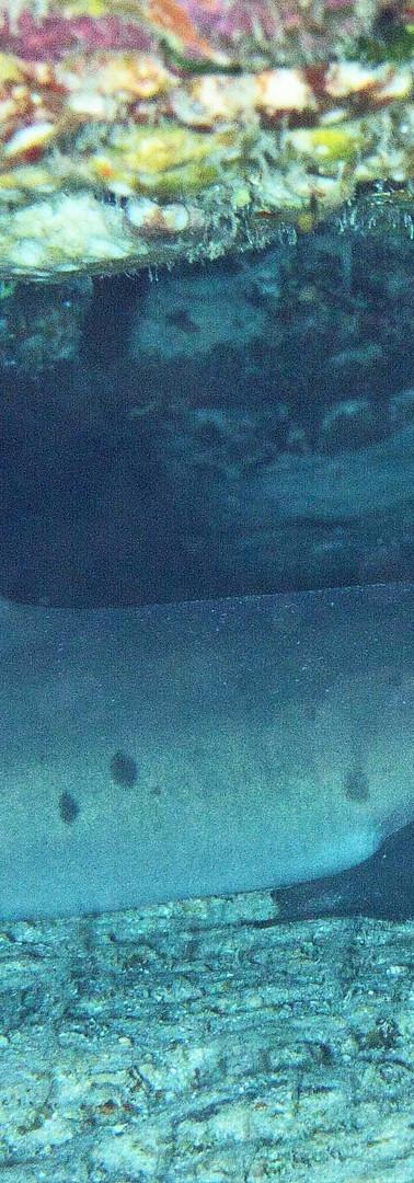 Whitetip Reef Shark 1.jpg