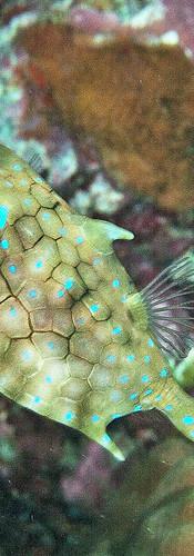 Thornback Cowfish.jpg