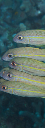 Yellowfin Goatfish 2.jpg
