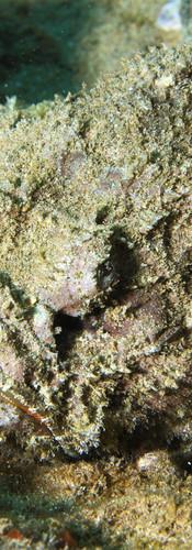 Titan Scorpionfish.jpg