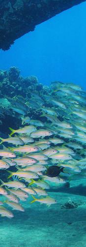 Yellowfin Goatfish 1.JPG